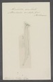 Firoloidea aculeata - - Print - Iconographia Zoologica - Special Collections University of Amsterdam - UBAINV0274 080 12 0019.tif