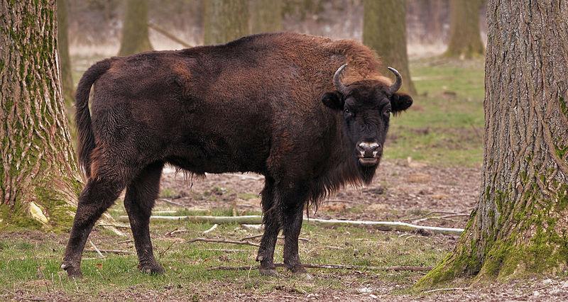 File:Flachlandwisent (Bison bonasus bonasus).jpg