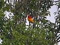 Flame Bowerbird (2905571510).jpg