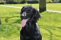 Flatcoated retriever with tongue.jpg