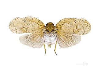 Planthopper - Image: Flatolystra verrucosa MHNT