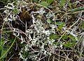 Flavocetraria cucullata T 82.jpg