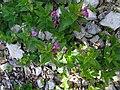 Fleurs des gorges de l'Ardèche 03.jpg