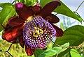 Flor de maracujá - panoramio.jpg