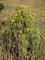 Flora of Tanzania 3939 Nevit.jpg