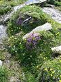 Flora tra Orvieilles e Laghi Djouan, Valsavarenche 18.JPG