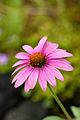 Flower, Tennessee coneflower - Flickr - nekonomania.jpg