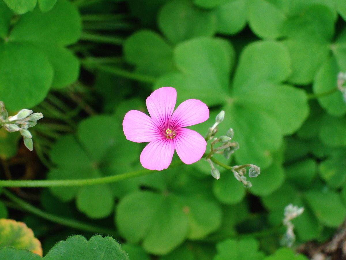 Oxalis Articulata Wikispecies