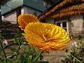Flower in srikhola.JPG