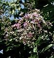 Flower spike I IMG 8662.jpg