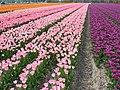 Flowerfields near Noordwijk (Netherlands 2007) (2475754095).jpg