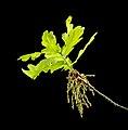 Flowering Oak.jpg