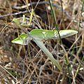 Flying Mantis. Sphodromantis viridis. Mantidae - Flickr - gailhampshire.jpg