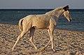 Fohlen am Roten Meer in Ägypten IMG 4943WI.jpg