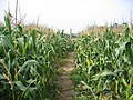 Footpath through the maize - geograph.org.uk - 57697.jpg
