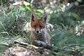 Fox (9052917716).jpg