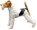 Fox Terrier A Poil Dur.jpg