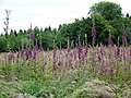 Foxgloves (Digitailis purpurea), Fontmell Woods - geograph.org.uk - 1360239.jpg