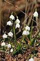 Frühlings-Knotenblume, Leucojum vernum 54.JPG