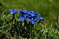 Frühlings Enzian Gentiana verna 09.JPG