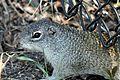 Franklin's Ground Squirrel - Flickr - GregTheBusker (2).jpg