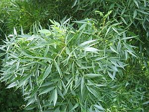 Fraxinus angustifolia - Foliage of subsp. oxycarpa