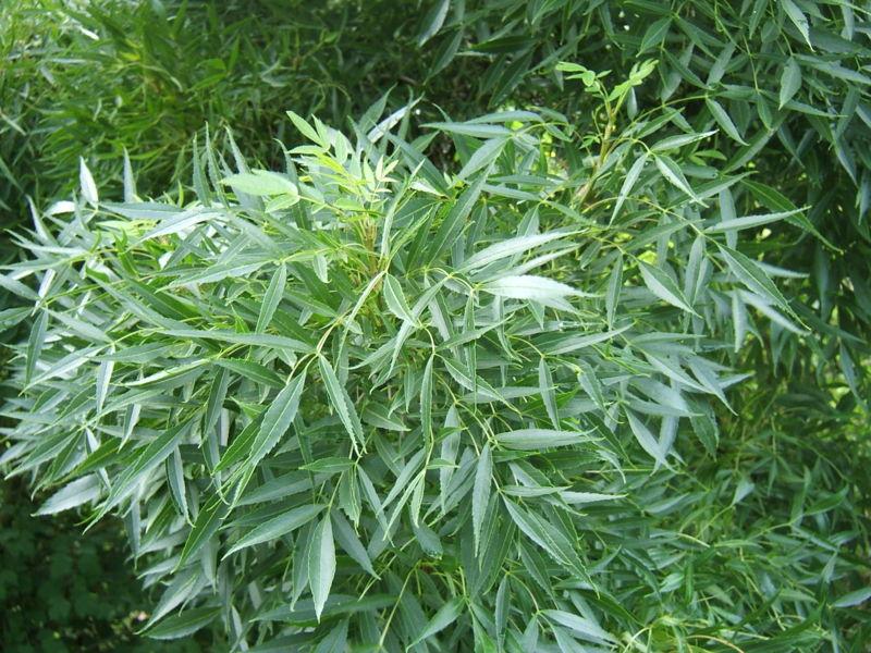 frêne  à feuilles etroites arbre et son feuillage
