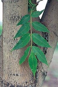 Fraxinus mandschurica USDA
