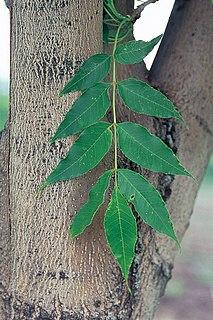 <i>Fraxinus mandschurica</i> Species of ash
