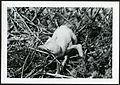 Fregata minor (Great Frigatebird) 18 days old, on Christmas Island (Kiritimati), Kiribati, 1967. (9392658429).jpg