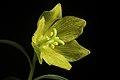 Fritillaria camschatcensis fma. flavescens (L.) Ker Gawl., Bot. Mag. 30 t. 1216 (1809) (49974232206).jpg