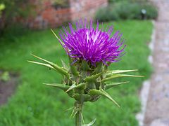 Frombork - Milk thistle flowerhead.JPG