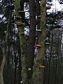 Fungi on Tree in Cropton Forest. - geograph.org.uk - 300271.jpg