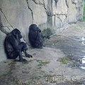 G-g-gorilla-ceo.jpg
