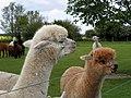 GOC The Pelhams 086 Alpacas (Vicugna pacos) (28220910751).jpg