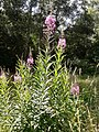 GT Rosebay Willowherb in Anthill Meadow.jpg