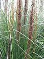 Gahnia australis (21204013489).jpg