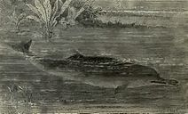 Gangetic dolphin, drawing from 1894