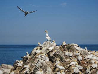 "Ireland's Eye - The Gannet colony on ""The Stack"""