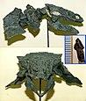 Gargoyleosaurus skull.jpg