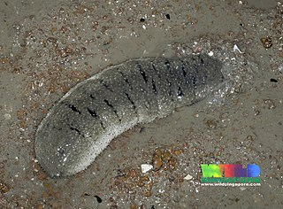 <i>Holothuria scabra</i> Species of sea cucumber