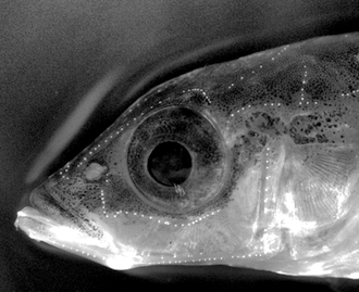A three-spined stickleback with stained neuromasts that form the lateral line system. Gasterosteus aculeatus with stained neuromasts.png