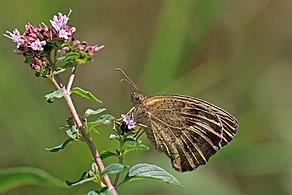 Gatekeeper (Pyronia tithonus) underside Bulgaria.jpg