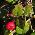 Gaultheria adenothrix (Mount Kasa).jpg