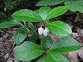 Gaultheria procumbens 6049.JPG
