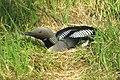 Gavia arctica (Black-throated Loon or Black-throated Diver) on nest.jpg