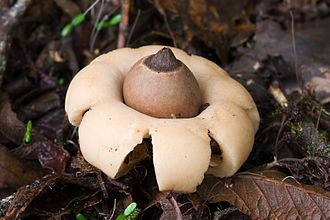 Fungi of Australia - A rounded earth star (Geastrum saccatum), in Mount Field National Park, Tasmania