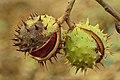 Gebarsten bolster van een paardenkastanje (Aesculus) 20-09-2020 (d.j.b.) 03.jpg