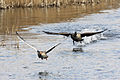 Geese - Fowlmere March 2010 (4444229076).jpg