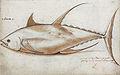 Gelderland1601-1603 Thunnus albacares.jpg
